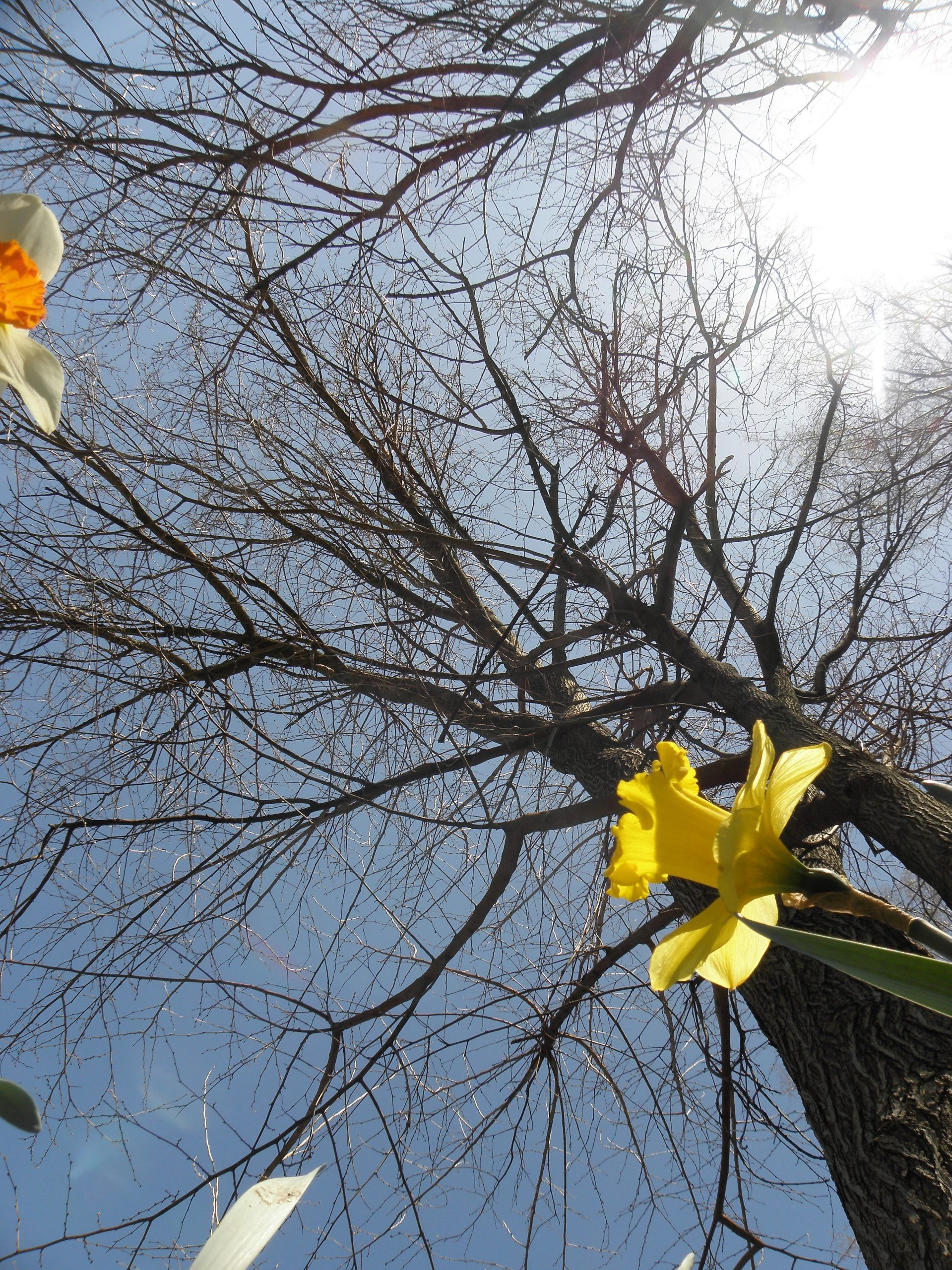 Daffodils and trees, Cleveland, 4/20/20